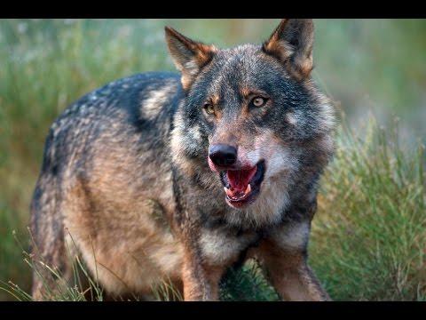 Blackpool Zoo Wolf Ridge