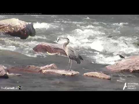 Great Blue Heron Strikes a Fish in Clark Fork River – August 22, 2017