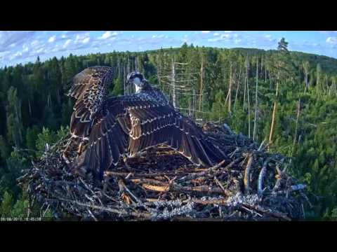 Young ospreys are fighting for the fish. / Estonian Osprey nest