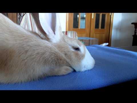 Bunny falling asleep