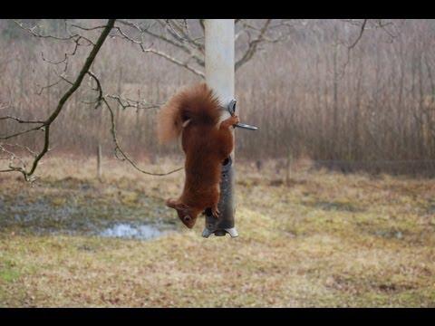 Wildlife - Red Squirrels Of Brownsea Island
