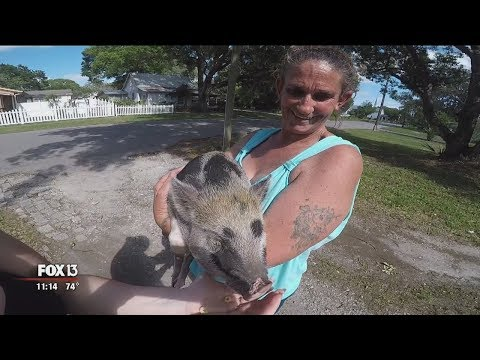 Zephyrhills: Potbelly pig can't be pet because it's