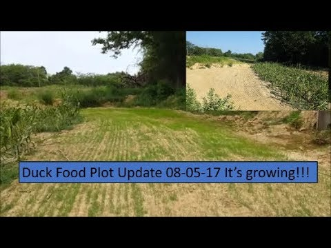 Duck Pond Update! The Millet Mix is Growing Nicely! 08-05-17