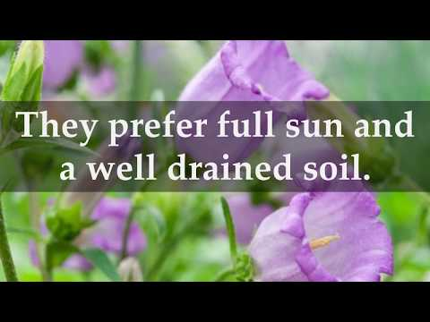 How to Grow Bellflowers at Home