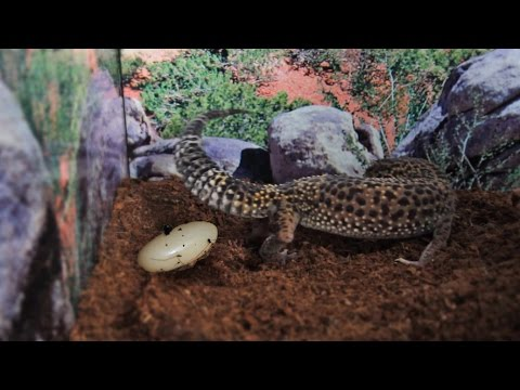 10 Signs A Gecko Will Lay An Egg