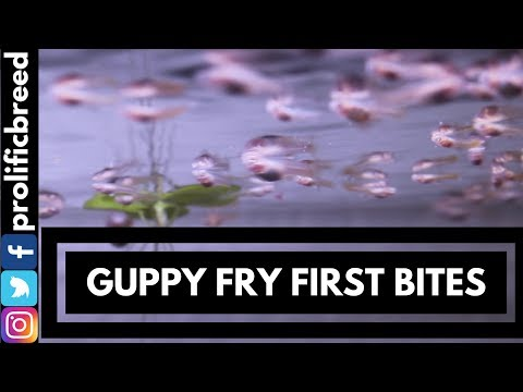 HOW TO FEED AND RAISE GUPPY FRY HACK DIY