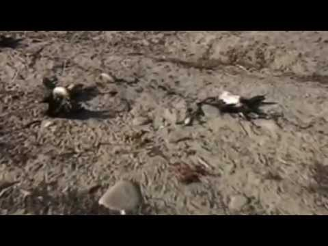 Chile  hundreds of dead animals washed up on shore