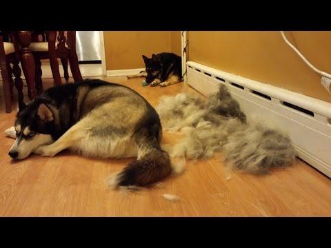 Siberian Husky and German Shepherd Extreme Shedding!