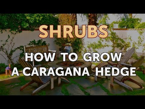 How to Grow a Caragana Hedge