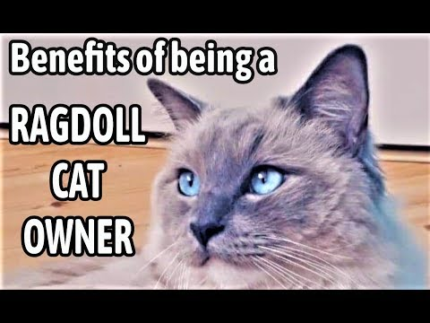 7 Benefits of Being a Ragdoll Cat Owner