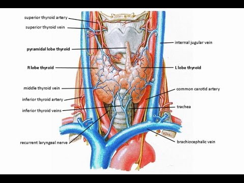 Innervation of the Larynx - Vagus - Superior laryngeal and recurrent laryngeal nerve