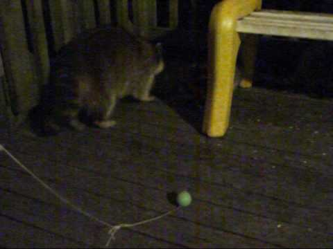 Baby Raccoons Play Ball