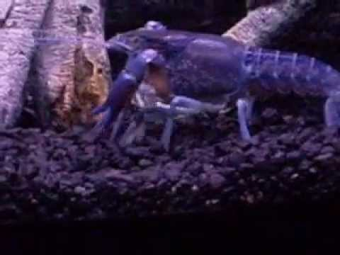 Electric Blue Crayfish Tank