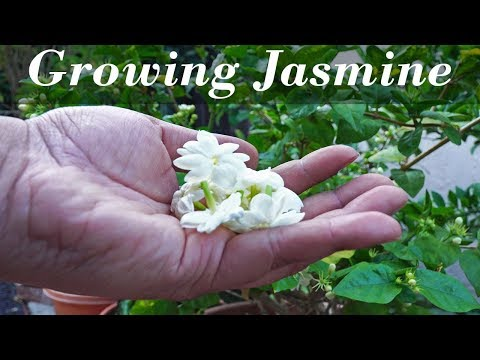 Flora Series - Growing  Jasmine - How To Grow Jasmine Plants In Containers