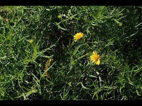 Skeleton-leaf goldeneye |Daphne Richards |Central Texas Gardener