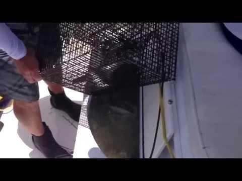 Pin fish trap full of pin fish for dolphin fishing July 2013