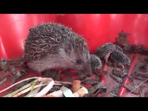 Wild hedgehog family with 8 baby hedgehog