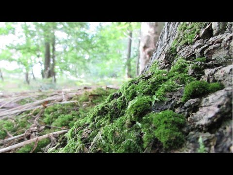 Moss (Bryophyta)