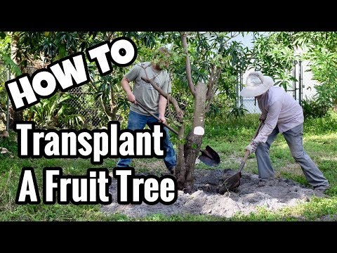 HOW TO Transplant a Tropical Fruit Tree