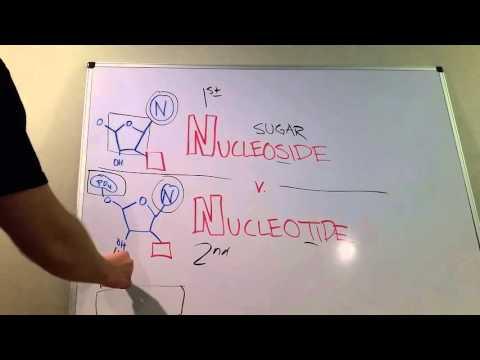 Nucleosides vs. Nucleotides