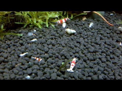 Breeding Crustal Red Shrimp - Shrimp Sex
