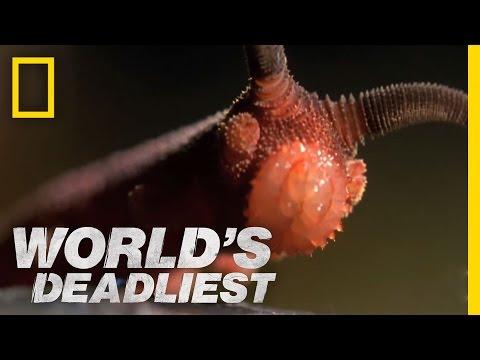 Conheça o bizarro verme-aveludado, capaz de espirrar um líquido para imobilizar suas presas
