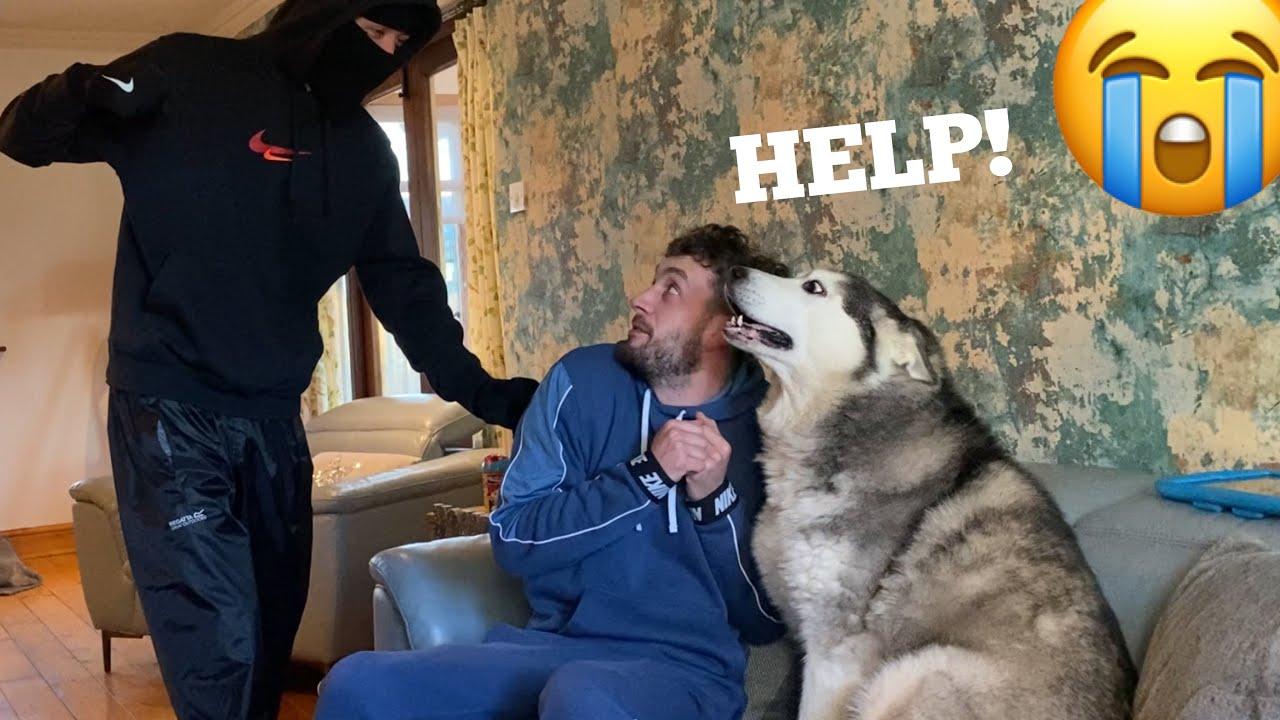 Will My Huskies Protect Me From Stranger Prank!? [MALE v PUPPY v FEMALE!]