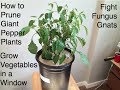 How To Prune Giant Pepper Plants Fight Fungus Gnats And Grow