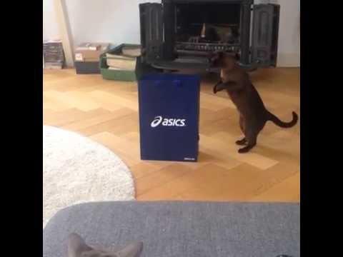 Cat leaps into bag!