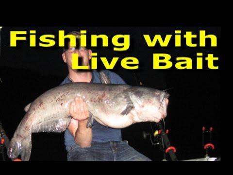 Fishing with live bait - Best big catfish bait.