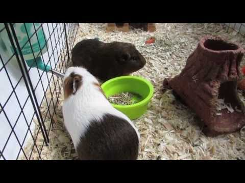 How to clean a guinea pig C&C cage