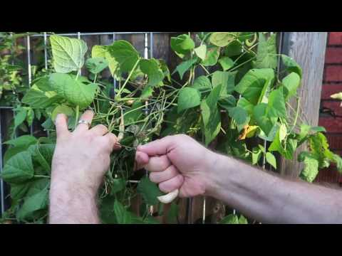 How to Save Bean Seeds for Planting or Eating