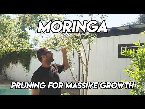 Ep160 - Trim Moringa For Massive Spring Growth