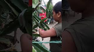 Harvesting Dragon fruit-2(2)