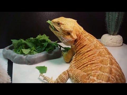 Bearded Dragon (Blaze) Eating Greens // 4K UHD.
