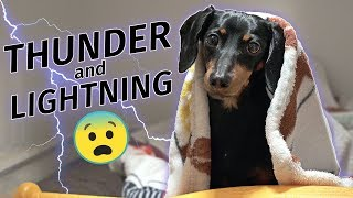 Crusoe Dachshund Scared of Thunderstorm! Hides in Closet!