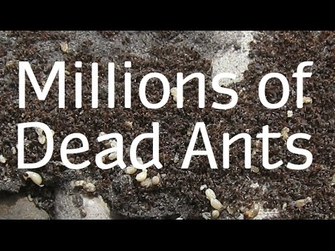 How to Get Rid of Ants Naturally - Best Way