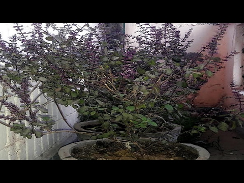 How to grow Holy plant Tulsi (Basil) from seeds (Hindi)