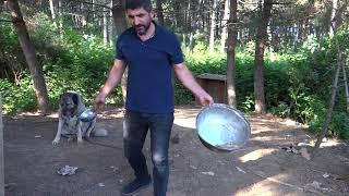 Download Sivas Saf Kangal Hamza Tüylüoğlu Maşallah Emsali Nadirr İst