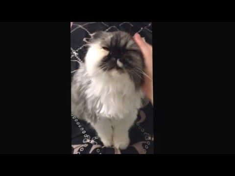 Persian cat is like a Persian girl ... She needs attention!