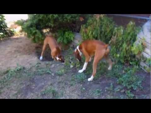 My Crazy Boxer Dogs playing