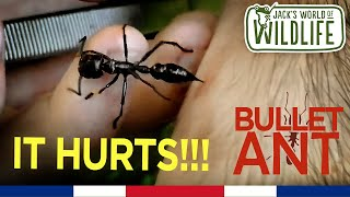 Download SAVAGE BULLET ANT STING! | Costa Series | Video