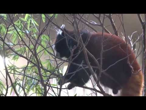 Red Pandas Snack on Bamboo!