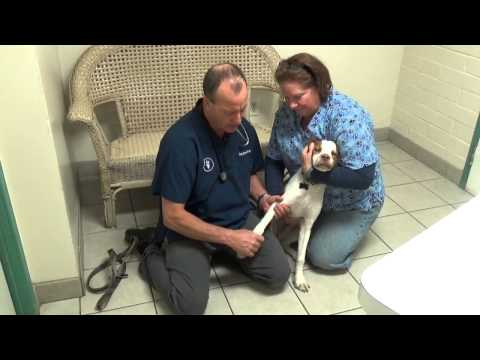 Limping Dog:Muscle Strain or Muscle Pull