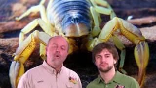 Download Arachnid - Scorpion: Giant Desert Hairy Scorpion Video