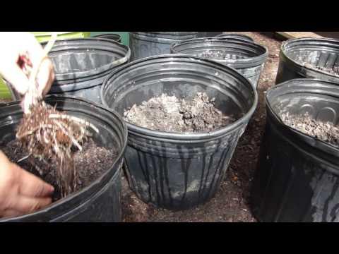 How to Plant and Grow Taro Roots AKA Malanga, Gabi, etc.