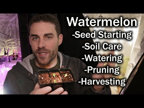 How to Grow Watermelons (How I Do It) and Beginner Tips.