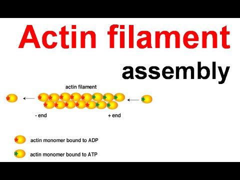 Actin filament assembly