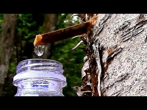 Wild Edibles- Yellow Birch Sap- The Taste of Spring!