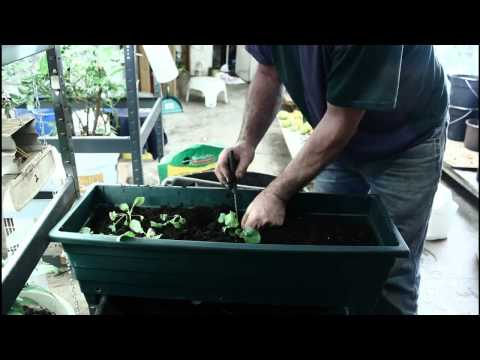 Transplanting radishes in late October